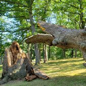 300-year-old tree felled during September 13 storm